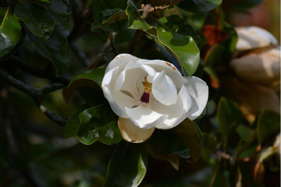 Magnolia_Grandiflora_velecvjetna_magnolija_foto_pixabay_PollyDot