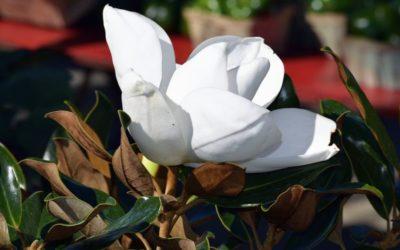 Akcija biljke Magnolije Grandiflore