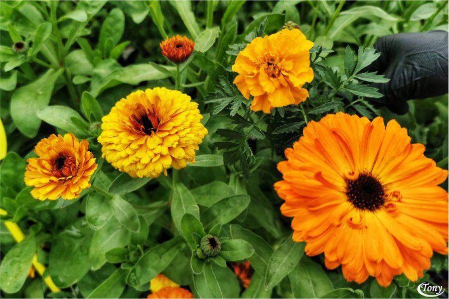 Neven i kadifa – ljekovite biljke
